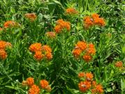 Asclepias tuberosa (Butterfly Weed) (4).JPG